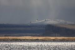 Snow Geese Coming In (suzysday) Tags: snowgeese klamathfalls lowerklamath klamathbasin