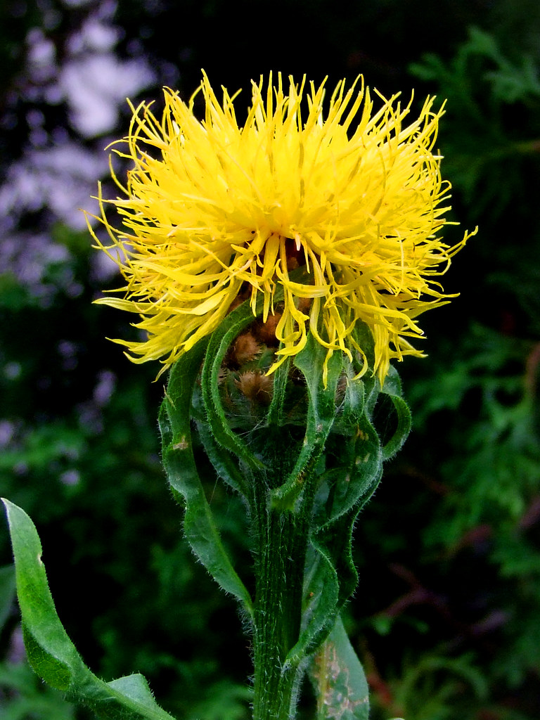 Foto: Gele korenbloem