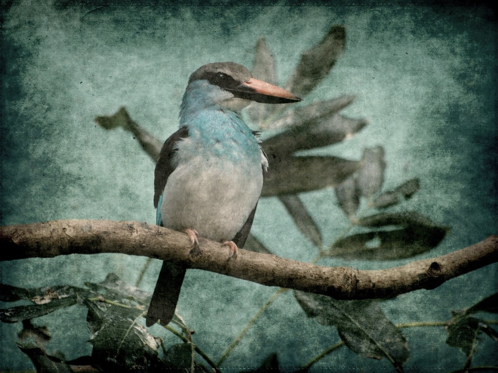 Textures63-1 - Blue-breasted Kingfisher (Halcyon malimbica)