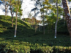 Tea Plantation. Srimongal (shaun shooter) Tags: nature landscape landscapes tea country views plantation srimongal natureviews