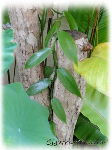 Coffee trees vanilla bean