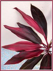 THawaiian Ti or Ti Plant (Cordyline terminalis): foliage closeup