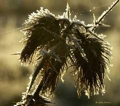 The old warrior (joeke pieters) Tags: light nature gold frost hoarfrost thistle web cobweb distel potofgold rijp speerdistel theunforgettablepictures