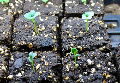 Tuscan kale seedlings