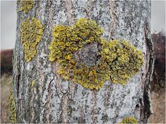 Lquenes (Santhero) Tags: color texture textura andaluca huelva rbol tronco corteza xanthoriaparietina lquen zalamealareal santhero fotosanthero