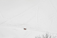 a dog goes  (dmk) Tags: winter snow alone moscow doggy february