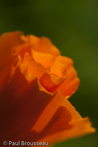 poppy wallpaper. California Poppy - wallpaper