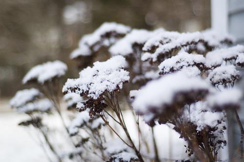 snow flowers no.1