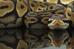 Pastel Het Red Headshot (M.V. Radar) Tags: light black ball nikon box snake homemade bedtime python sb80dx plexy