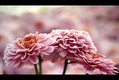 Pink Period (Atul Tater) Tags: pink flowers colour texture trio prettypink threeflowers hppt