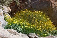 Desert Golden Poppies and Brittle Bush (David Y. Allen) Tags: flowers golden desert poppy anzaborrego brittlebush incienso enceliafarinosa eschscholziaglyptosperma