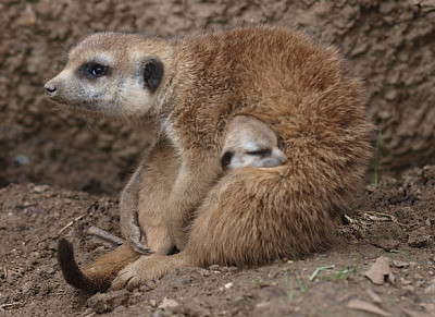 a meerkat mum snuggles her babe to her belly.