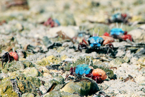 angry fiddler crabs invade hithadhoo...