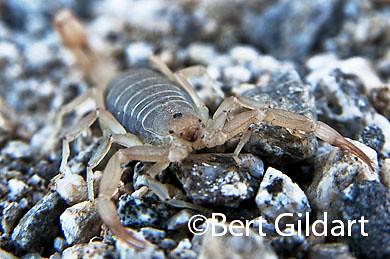 Scorpion-7HP