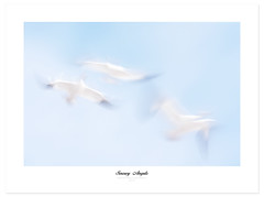 Snow Geese Angels (Imapix) Tags: bird nature animal flight oiseau snowgeese envol gaetanbourque oiesblanches mywinners