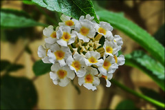 flheure d'ete (loumi2008) Tags: flowers white yellow fleurs jaune sony cybershot explore blanc brillianteyejewel hx1 dschx1
