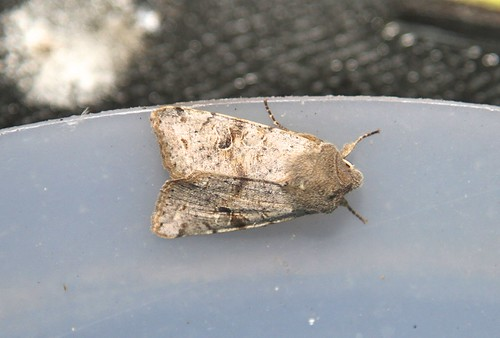 Clouded Drab (Orthosia inserta)