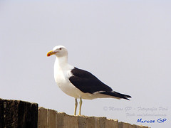 Unico (Marcos GP) Tags: trip viaje bird peru seagull ave gaviota marino ica pjaro chincha floraandfaunaoftheworld marcosgp
