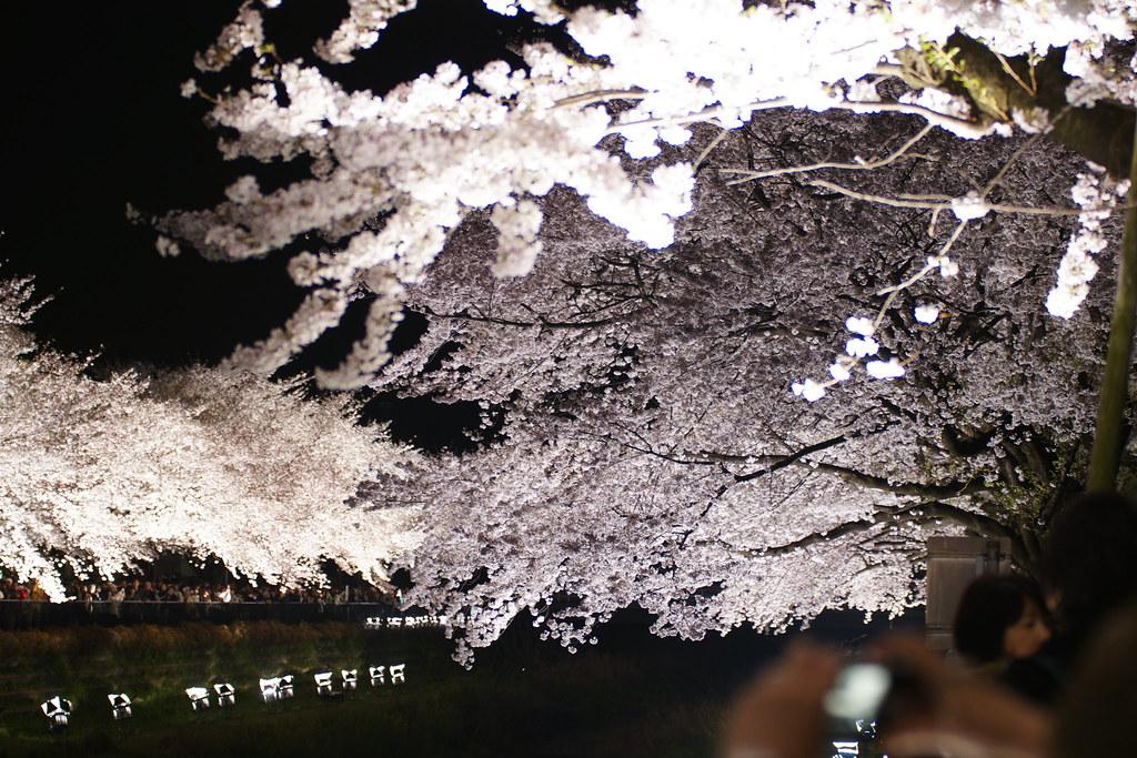 2010野川桜ライトアップ 5