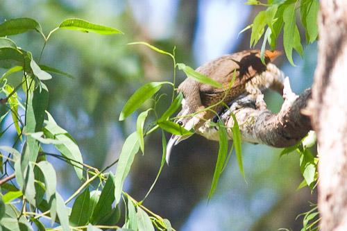 female Paradise Riflebird