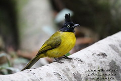นกปรอดเหลืองหัวจุก Black-crested Blublu