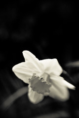 Loneliness (docworld) Tags: new bw flower lensbaby creativity artist loneliness bn emotions feelings composer silviaallegri