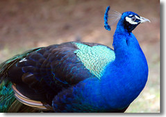 PAVO REAL (Valentin:) Tags: real pavo