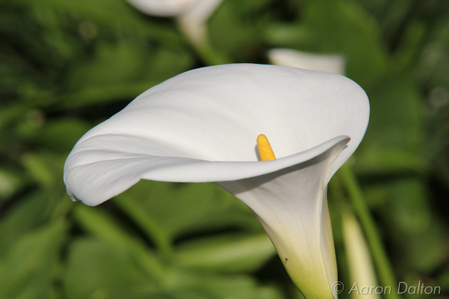 Cala Lilly Centered