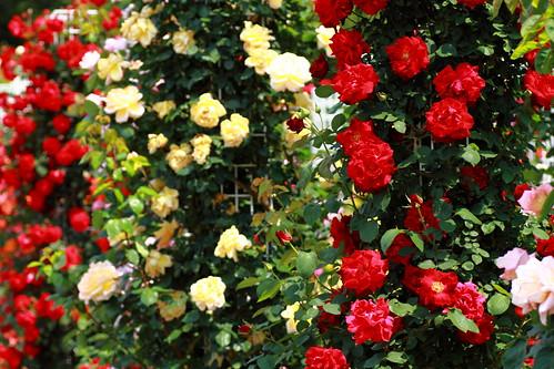 rambler rose_5098