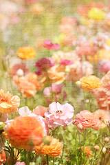 fields of flowers (olive.villarreal) Tags: camelias ranunculus textures lilac carlsbad tuliptree descansogardens lifenreflections leslienichole