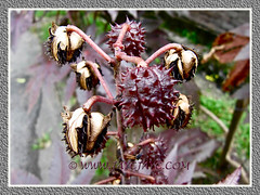 Unripe and ripen seed pods of Ricinus communis (Castor Bean, Castor Oil Plant)
