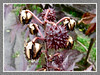 Unripe and ripen seed pods of Ricinus communis (jayjayc) Tags: plants maroon seeds foliage malaysia kualalumpur seedpods neighbourhood castorbean castoroilplant ricinuscommunis reddishpurple palmateleaves jayjayc