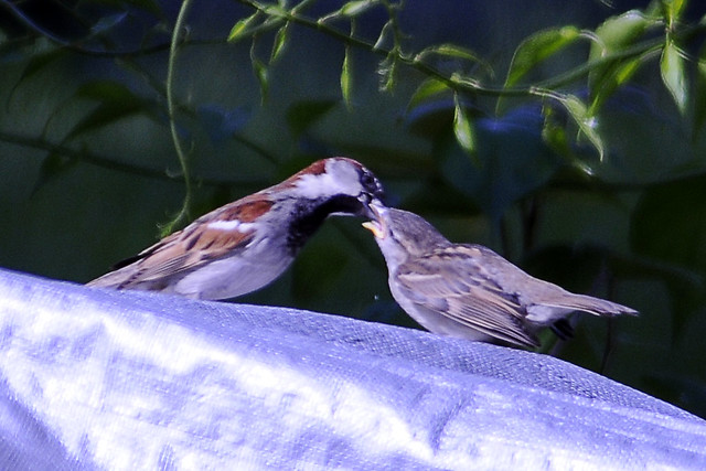 sparrow feeding chick two