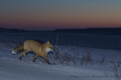 Red Fox in the Sunrise-6282 (Mathieu Dumond) Tags: canada arctic nunavut winter february kugluktuk morning sunrise animal nature landscape sky colours wildlife mammal carnivore redfox foxes renards snow willow flash canon 5dmkiii mathieudumond umingmakproductions explore inexplore