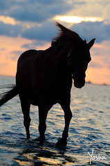 Deliverance (Yosha Photography) Tags: horse pony silhouette portrait beach ocean sea sunset animal atmosphere water sky clouds equine