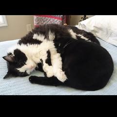 One eyed Ava (ShanMcG213) Tags: cat cats cina ava blackcat cateye cateyes blackandwhitecat catnap nap snugglebuddies