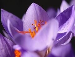 Fall Crocus (vzonabaxter) Tags: orange flower fall bulb yard canon garden illinois purple crocus steger vzonabaxter