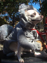 squirrel dog (istolethetv) Tags: nyc newyorkcity dog eastvillage newyork photo foto image awesome lowereastside snapshot picture photograph gothamist  animale dogrun howloween  tompkinssquarepark halloweencostumes halloweendogs dogcostumes dogcostume halloweendog halloweendogparade costumeddog squirreldog dogwearingclothes squirrelcostume newyorkdogs eastvillagedogparade halloweenhowl doginacostume decoratedanimal doghalloweencostumes halloweendogcostume tompkinssquareparkhalloweendogparade howlloween canetravestito caneincostume halloweencostumesfordogs halloweendogcostumecontest halloweendogparade2009 2009tompkinssquareparkhalloweendogparade 2009eastvillagedogparade squirreldogcostume doginahalloweencostume 19thannualtompkinssquarehalloweendogparade