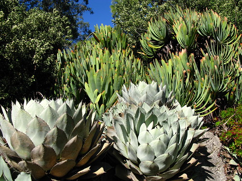 Aloe plicatilis, Agave huachucensis