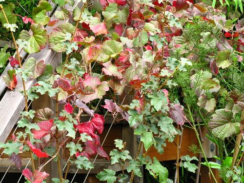 Vitis californica, Fremontodendron californica
