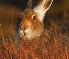 Too near ... I fear for my ears! (Chris Sharratt) Tags: mountainhare lepustimidus bluehare november2009 chrissharratt