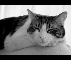 Rebeca, 96% sleep. (LinoPhilippe) Tags: chile cats cat nikon kitten feline chat kitty gatos gato felino katze nikkor gatto katzen kot matou chatte chaton  d60  hauskatze  felidi 1855mmf3556gvr