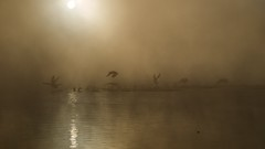 Ducks Take Flight in the Early Morning (marctonysmith) Tags: california usa bird fog olympus vannuys getty mallard e3 splash takeoff zuiko 2009 anasplatyrhynchos pictureoftheweek zd explore70 sepulvedabasinwildlifepreserve sepulvedabasinwildlifereserve 1260mm aperture21 epiceditsselection gisuggested