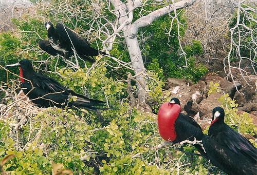 Galapagos-Seymour Nord (7)