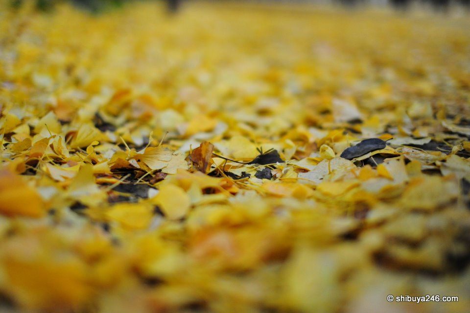 So many leaves fallen to the ground waiting to be raked up.