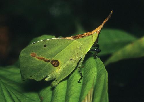 Systella sp. (Trigonopterygidae: Trigonopteryginae)