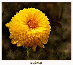 0249 Flower (QuimG) Tags: naturaleza flower nature yellow geotagged flor favorites natura panasonic textures macros flickrsbest naturesflowers specialtouch specialpicture flickraward freenature theunforgettablepictures themagickey quimg betterthangood natureslove worldofflowers novaphoto spiritofphotography greatmanipulart thedavincitouch vosplusbellesphotos doubledragonawards tumiqualityphotography gardenparadise quimgranell joaquimgranell mundosmagníficos worldmesartmasters jotbesgroup showthebest richardssilverstar mesarthonorablemembersgroup justexcellentmacros thegoldenhearts naturesqualitypictures naturesbeautifulpictures naturesbestshot waterstaraward theskullaward gettyimagesspainq1
