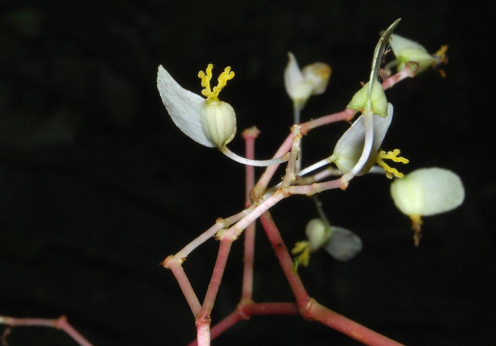 Begoniaceae image