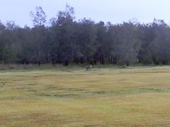 Kangaroo, Dohles Rocks Rd, Griffin