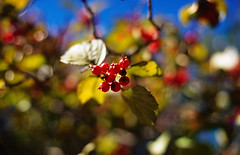 Fruition (Chase Hoffman) Tags: blue autumn red color green fall film fruit canon eos 50mm iso100 berry colorado branch dof kodak bokeh boulder slidefilm depthoffield normal ektachrome e6 e100vs shallowdepthoffield colorslide shallowdof canonef50mmf14usm canoneos1n chasehoffman chasehoffmanphotography